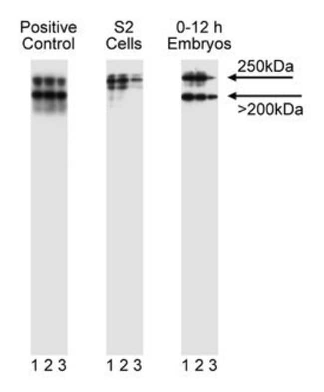 LR11 [SorLA; gp250; Lipoprotein Receptor-11] Mouse, Unlabeled, Clone: 48,