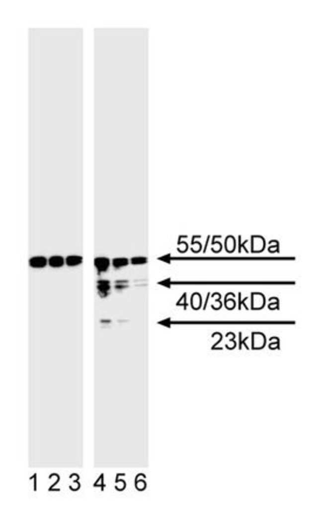 Caspase-8 Mouse anti-Human, Unlabeled, Clone: 3-1-9, BD 150μg; Unlabeled Caspase-8 Mouse anti-Human, Unlabeled, Clone: 3-1-9, BD