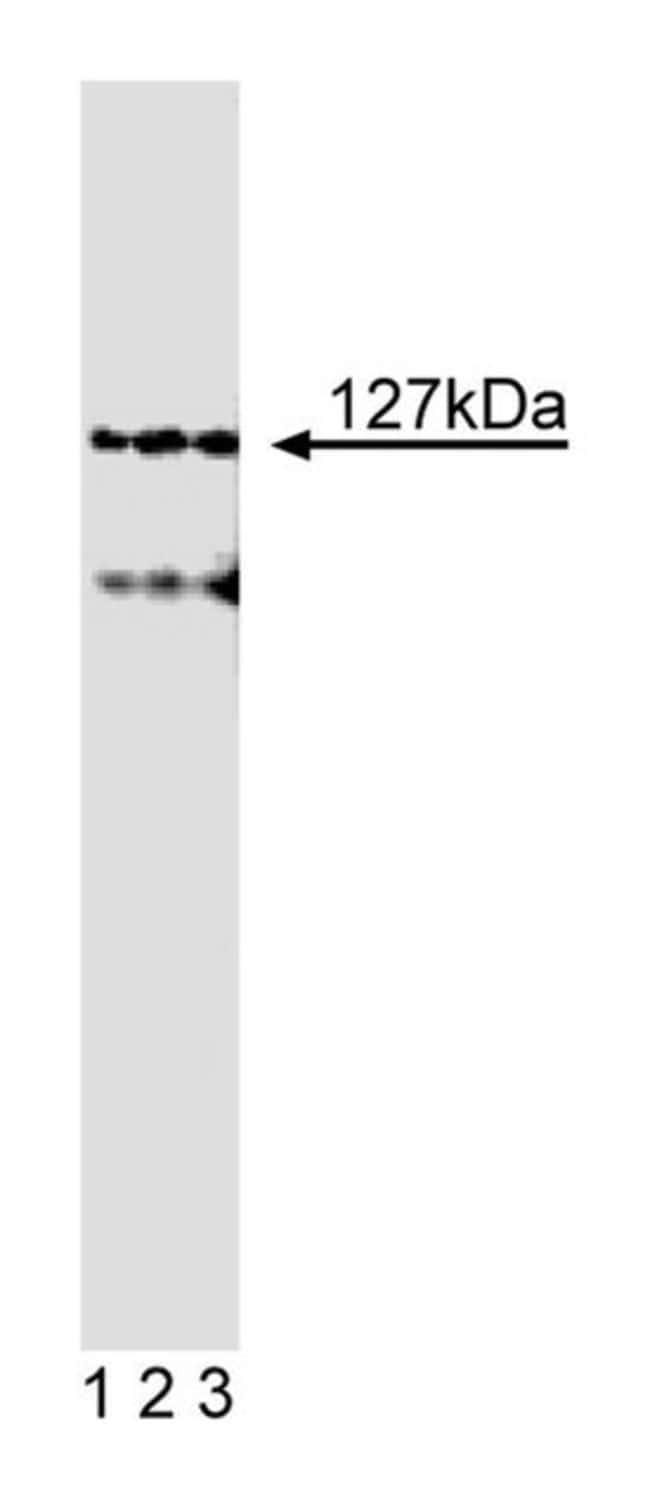 Adaptin  Mouse anti-Human, Unlabeled, Clone: 32, BD 50µg; Unlabeled:Life