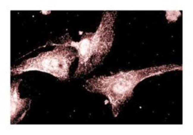 AKAP79 Mouse anti-Human, Unlabeled, Clone: 22, BD 50µg; Unlabeled:Life