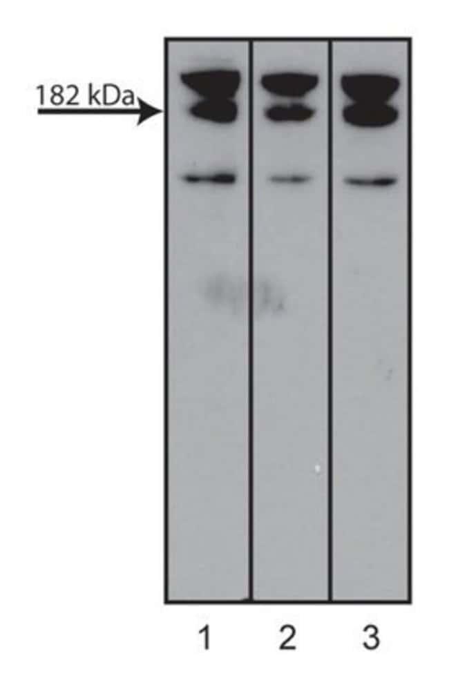 AF6 Mouse, Unlabeled, Clone: 35, BD 50µg; Unlabeled:Life Sciences