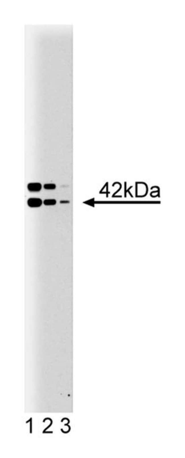 B2 Bradykinin Receptor Mouse, Unlabeled, Clone: 20, BD 50µg; Unlabeled:Life
