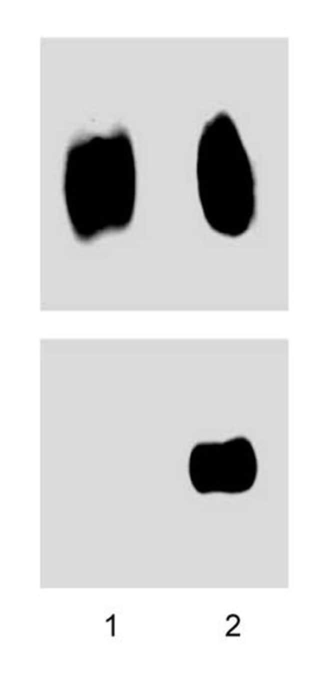 c-Cbl (pY700) Mouse anti-Human, Unlabeled, Clone: 47/C-CBL, BD 150µg;