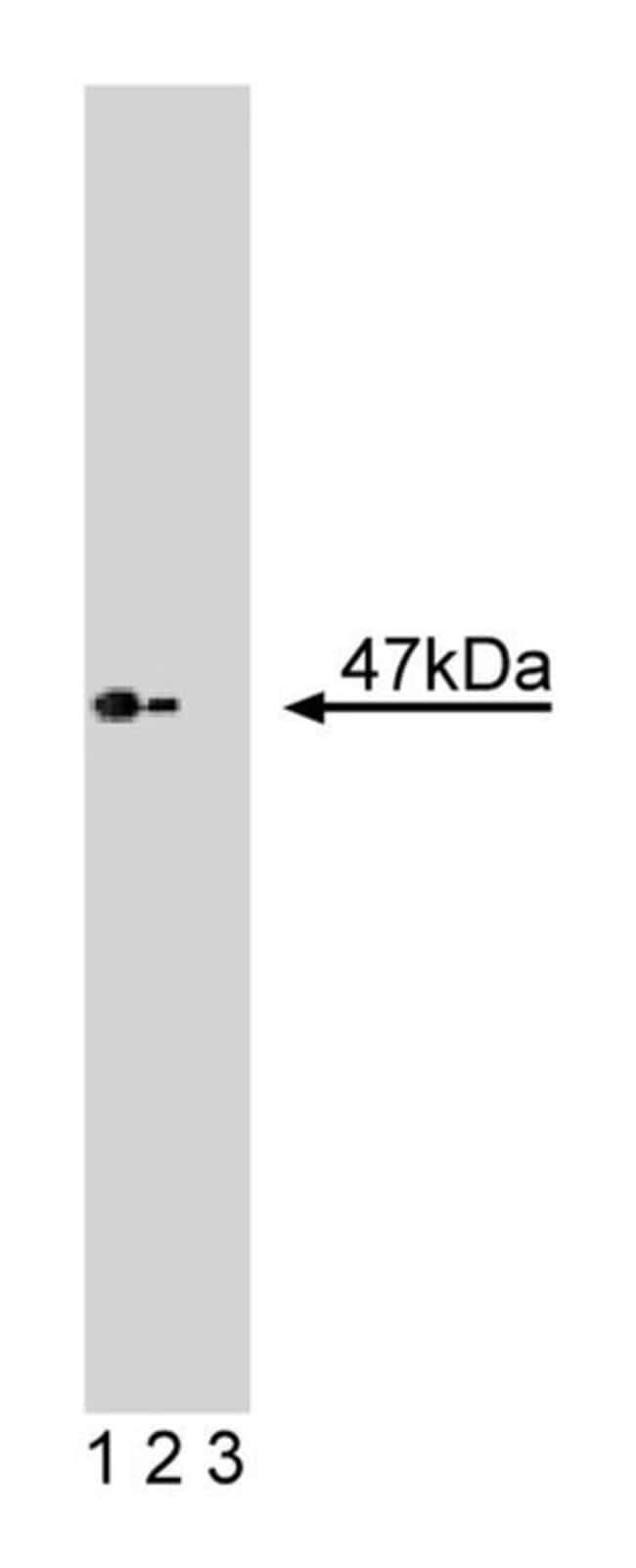 Casein Kinase I Mouse, Unlabeled, Clone: 1, BD 50µg; Unlabeled:Life