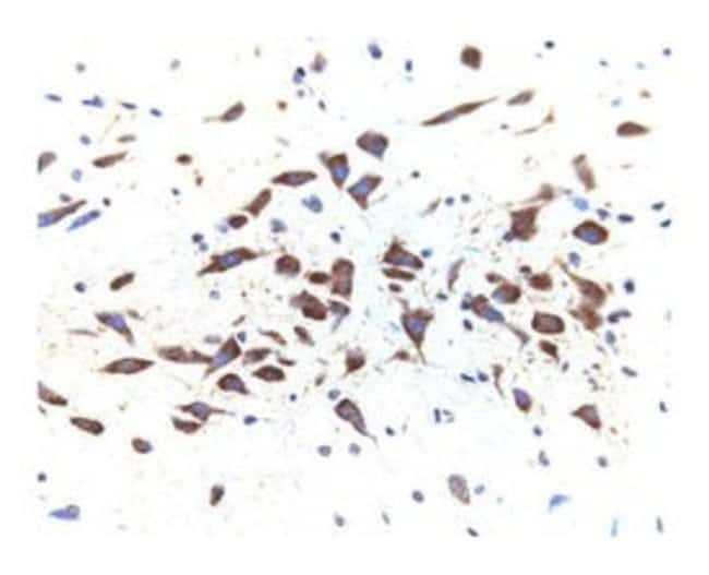 Dynamin II Mouse, Unlabeled, Clone: 27, BD:Life Sciences:Antibodies