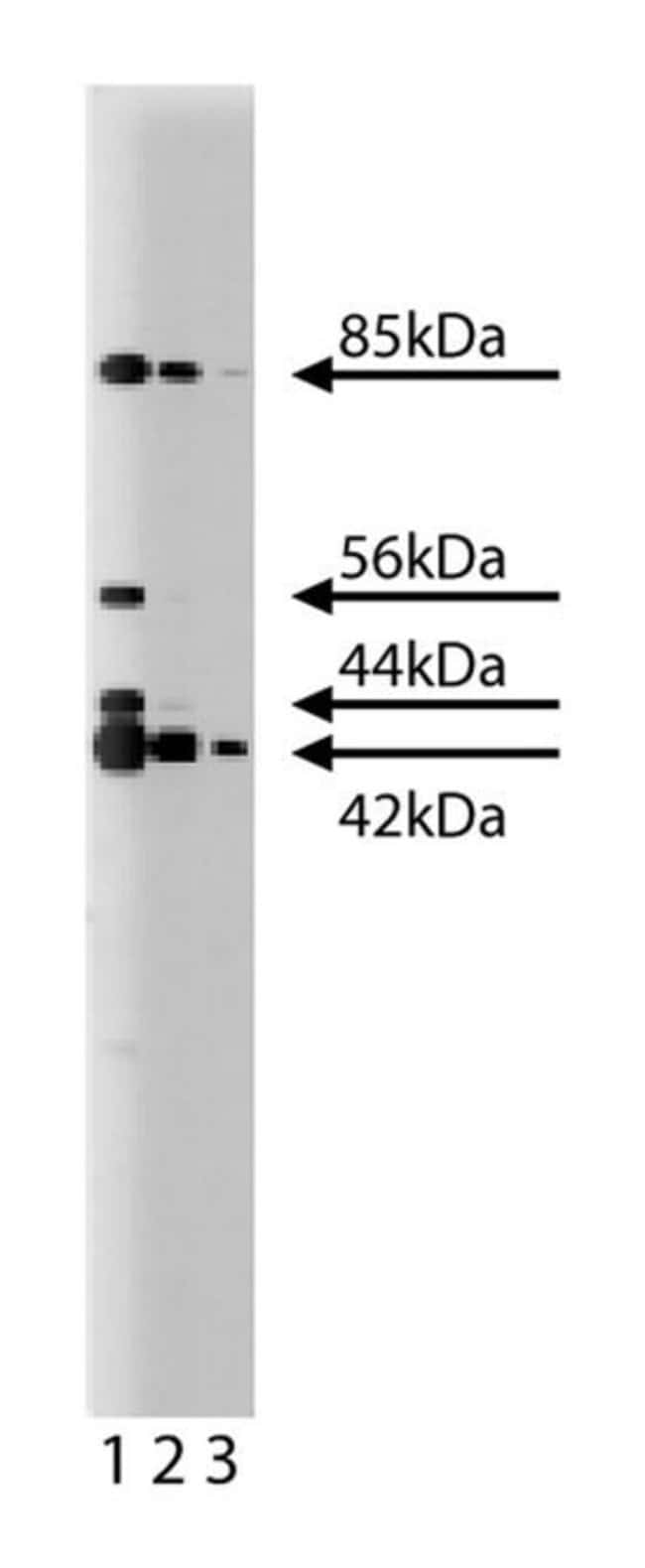 ERK (pan ERK) Mouse, Unlabeled, Clone: 16, BD 150µg; Unlabeled:Life