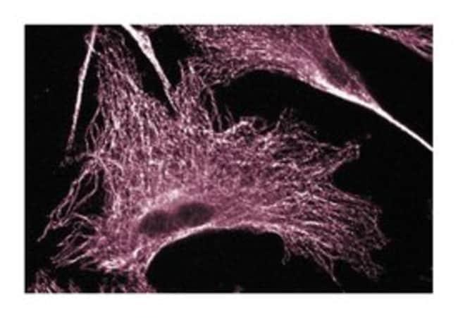 ERK (pan ERK) Mouse, Unlabeled, Clone: 16, BD 50μg; Unlabeled:Antibodies