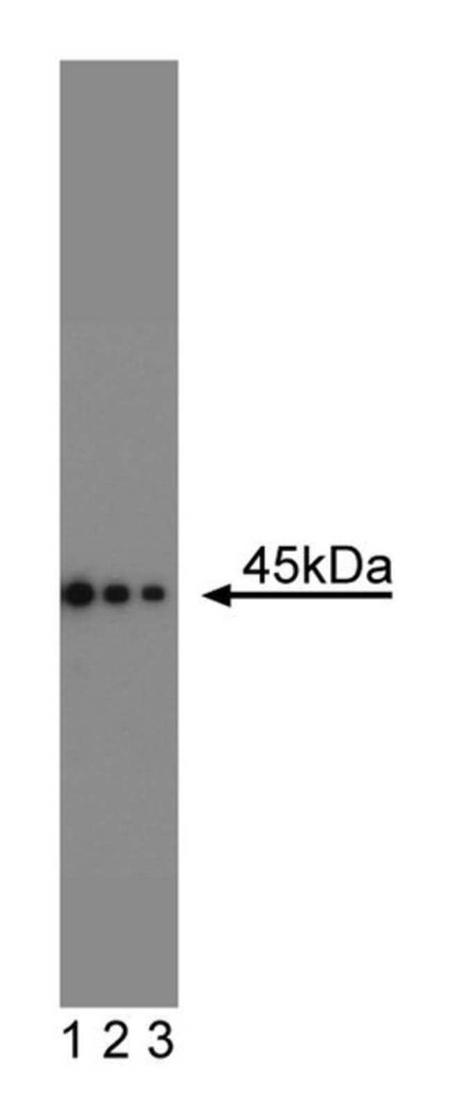 CD95 Mouse, Unlabeled, Clone: 13, BD:Life Sciences:Antibodies