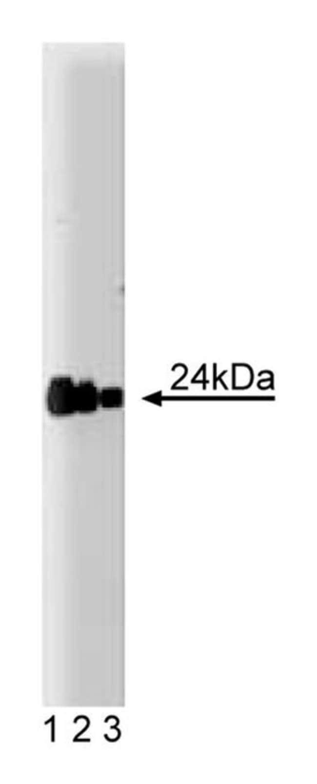 FADD Mouse anti-Human, Unlabeled, Clone: 1, BD 50μg; Unlabeled:Antibodies