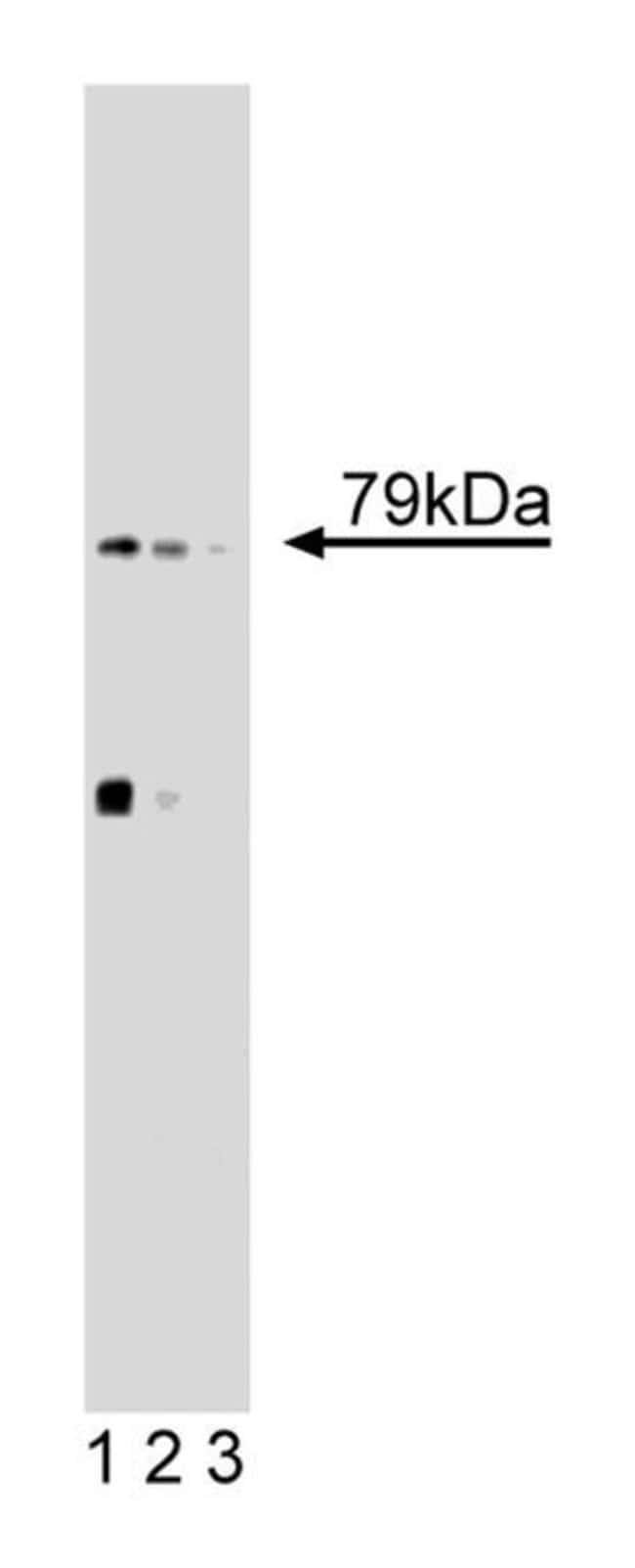 5-Lipoxygenase Mouse, Unlabeled, Clone: 33, BD 150µg; Unlabeled:Life