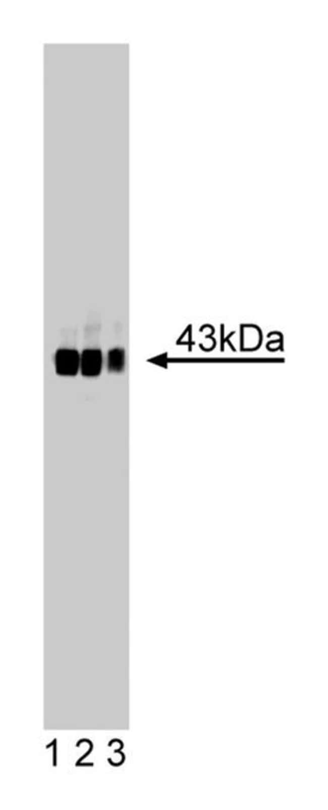 GAP-43/Neuromodulin Mouse, Unlabeled, Clone: 31, BD 50µg; Unlabeled:Life