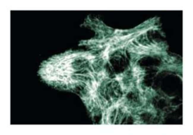 LITAF Mouse anti-Human, Unlabeled, Clone: 30, BD 50µg; Unlabeled:Life