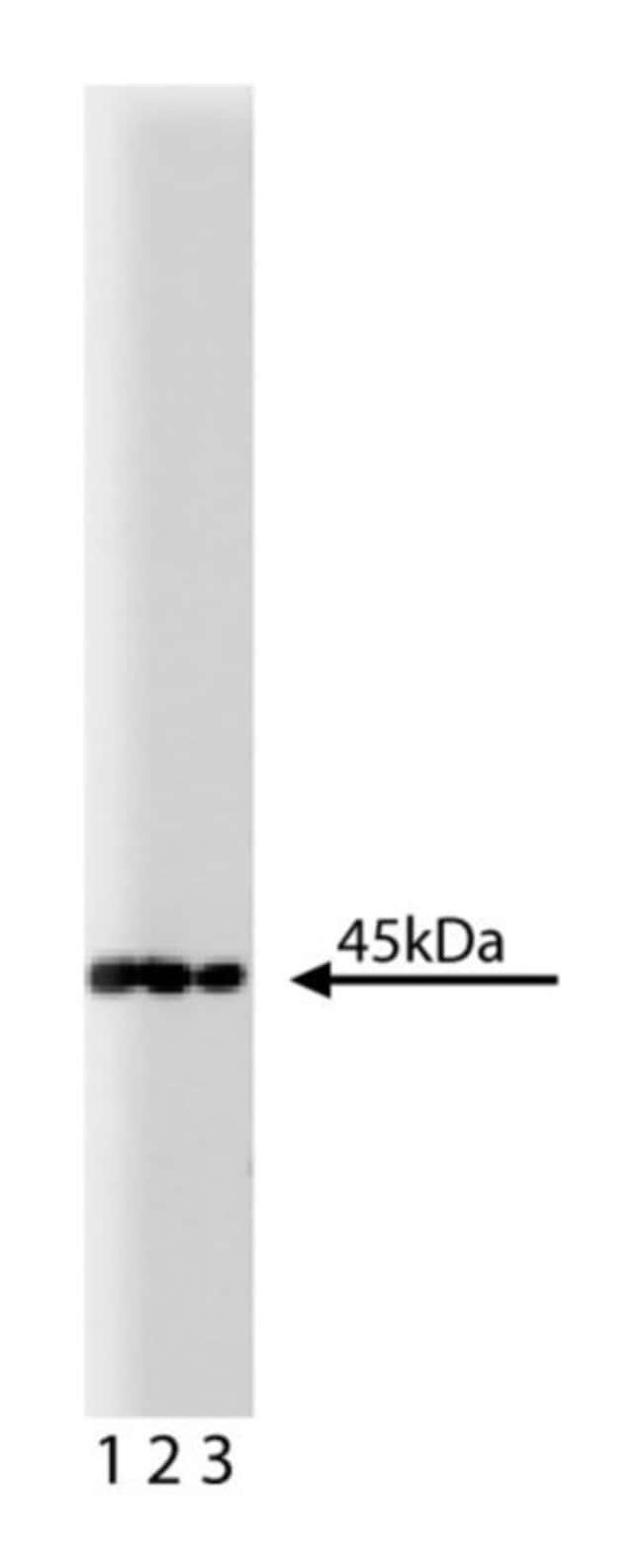 MEK1 Mouse, Unlabeled, Clone: 25/MEK1, BD 150µg; Unlabeled:Life Sciences