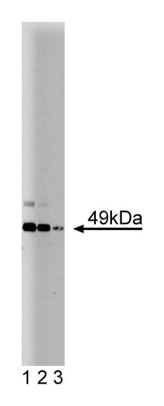 JNK/SAPK1 Mouse, Unlabeled, Clone: 37, BD 50µg; Unlabeled:Life Sciences