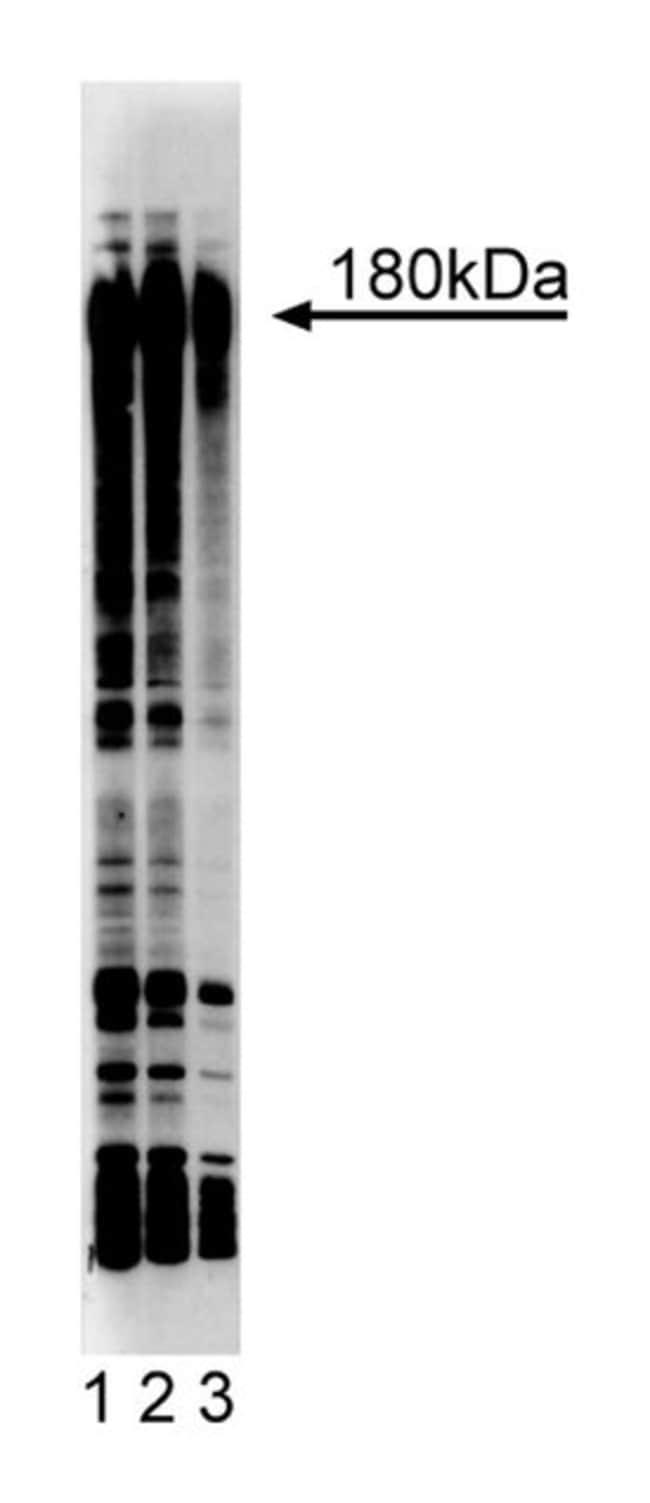 Phosphotyrosine Mouse, Biotin, Clone: PY20, BD 150µg; Biotin:Life