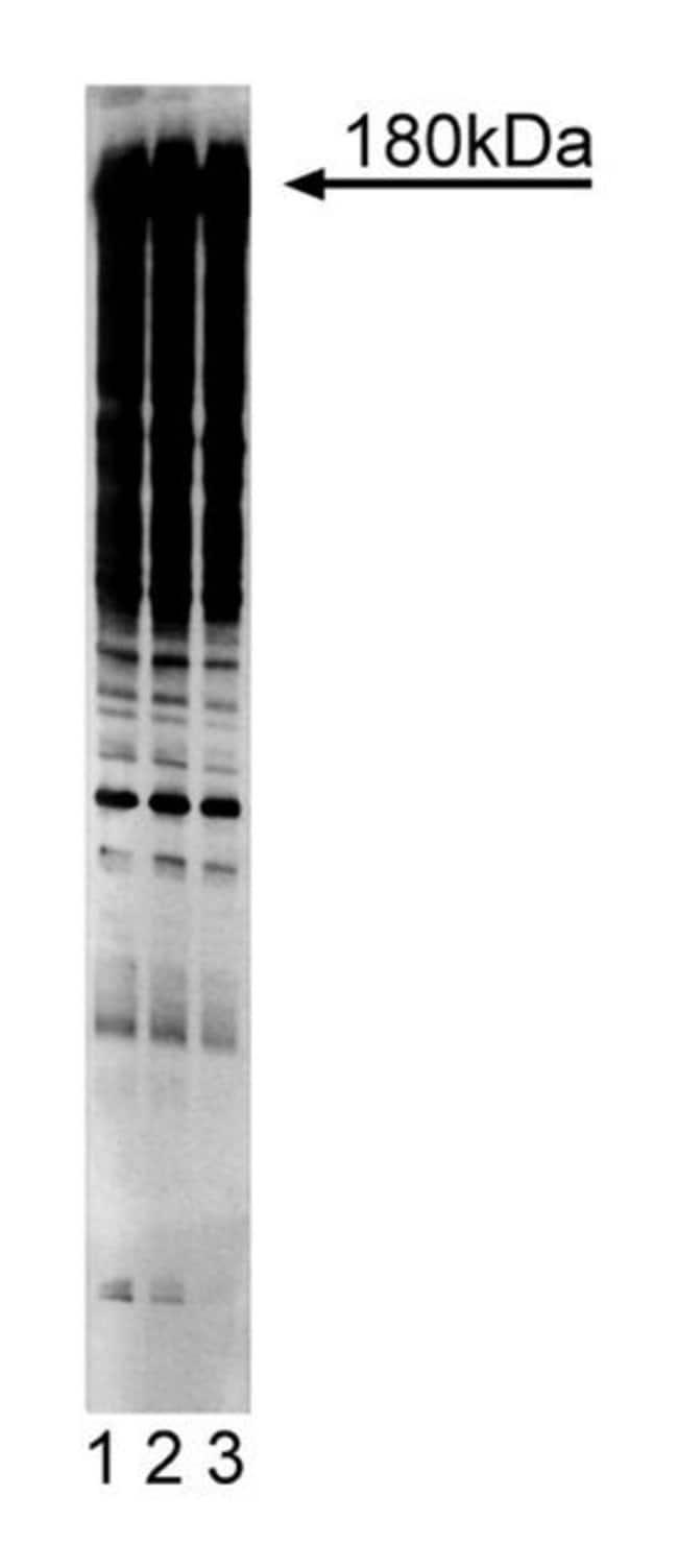 Phosphotyrosine Mouse, HRP, Clone: PY20, BD 50µg; HRP:Life Sciences