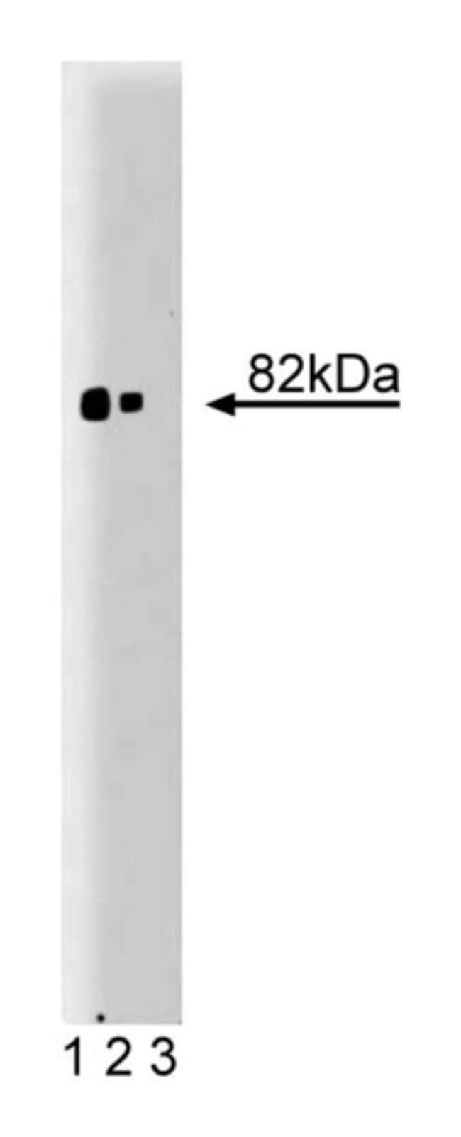 PKCα Mouse, Unlabeled, Clone: 3/PKC, BD 150μg; Unlabeled PKCα Mouse, Unlabeled, Clone: 3/PKC, BD