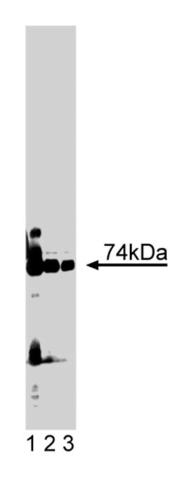 PKCλ Mouse, Unlabeled, Clone: 41, BD 150μg; Unlabeled PKCλ Mouse, Unlabeled, Clone: 41, BD