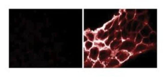 Phosphotyrosine Mouse, Unlabeled, Clone: PY69, BD 1mg; Unlabeled:Life Sciences