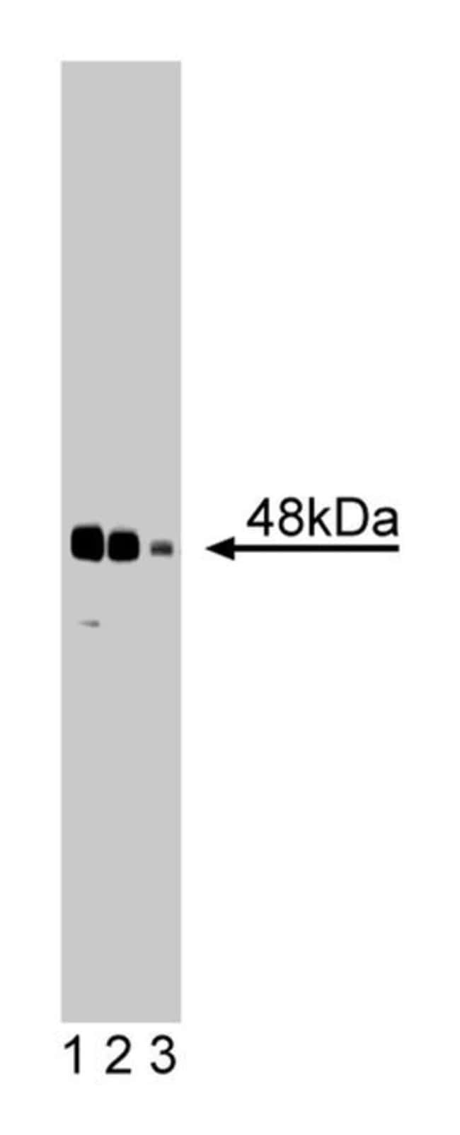Synaptotagmin V Mouse, Unlabeled, Clone: 46, BD 50µg; Unlabeled:Life