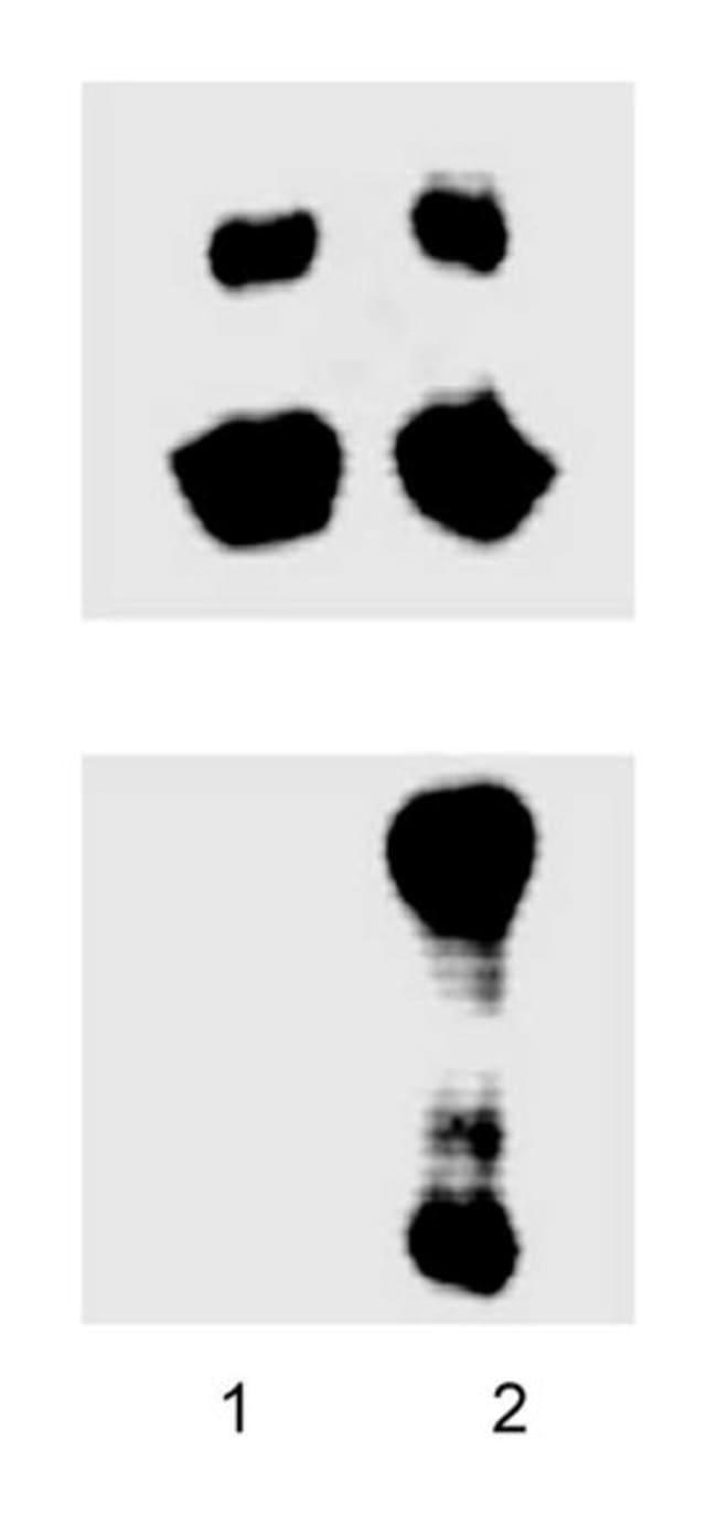 JNK/SAPK (pT183/pY185) Mouse, Unlabeled, Clone: 41, BD 150µg; Unlabeled:Life