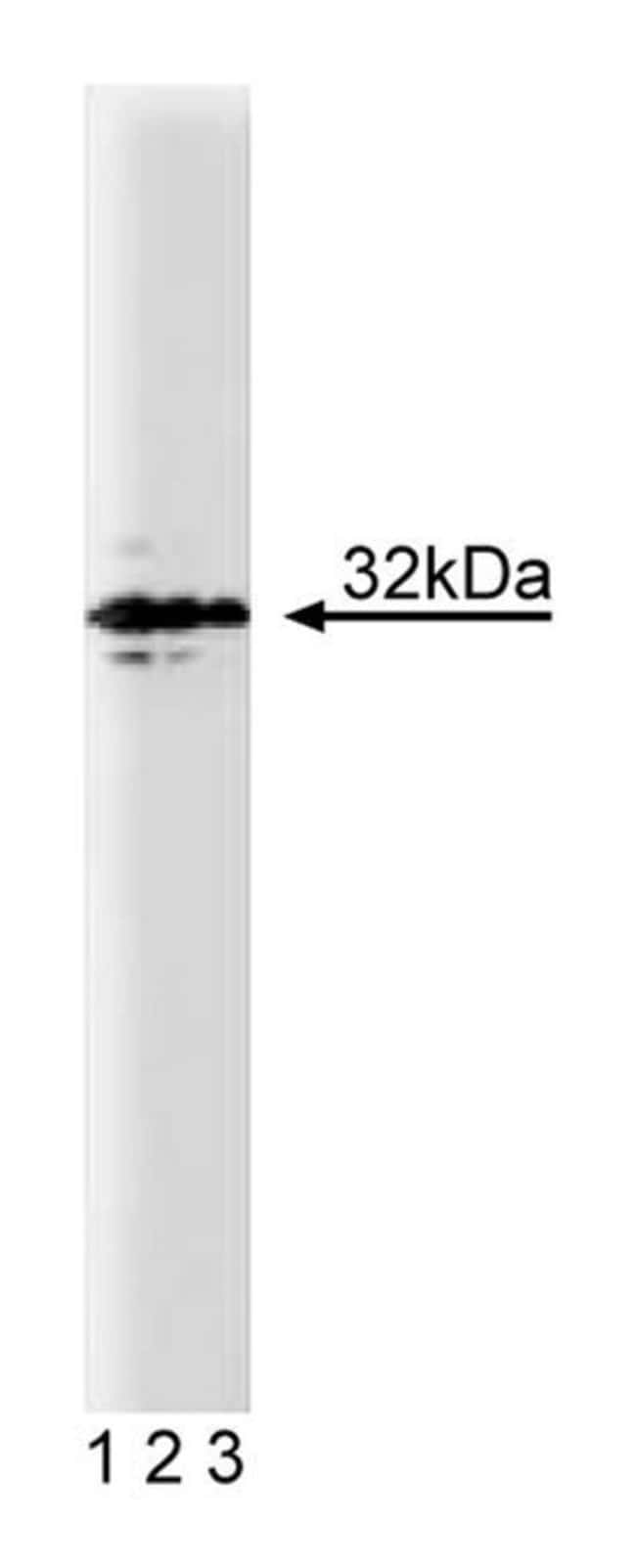 Syntaxin 4 Mouse anti-Human, Unlabeled, Clone: 49, BD 50µg; Unlabeled:Life