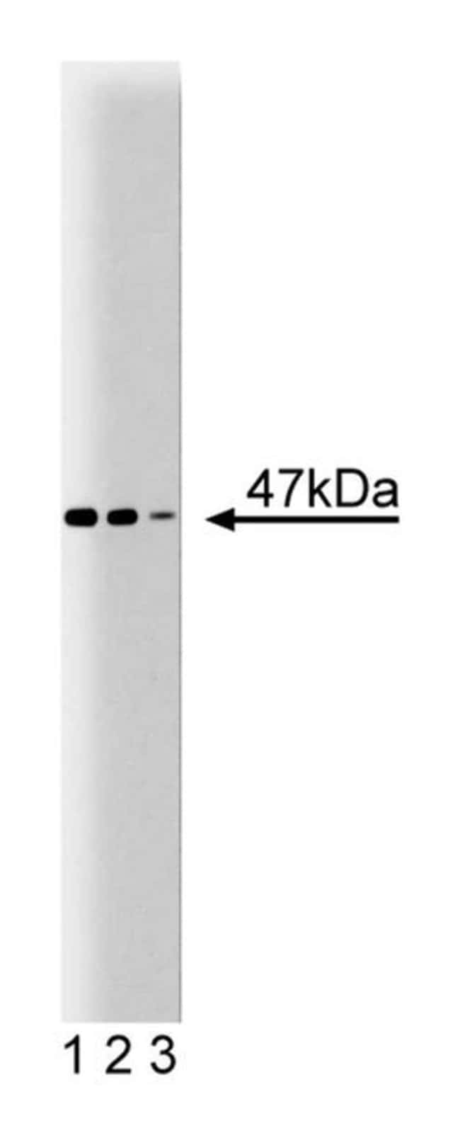 Thrombin Receptor Mouse, Unlabeled, Clone: 14, BD 50µg; Unlabeled:Life