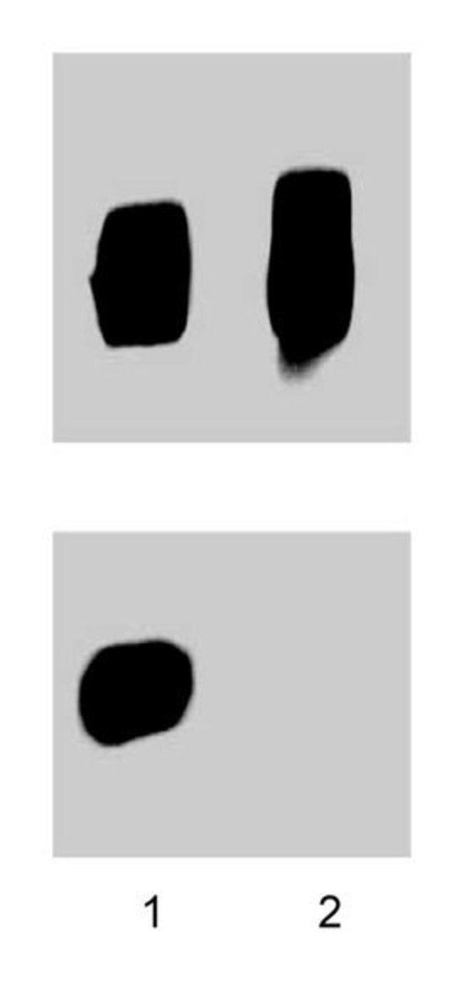 ZAP-70 (pY319)/Syk (pY352) Mouse anti-Human, Unlabeled, Clone: 17A/P-ZAP70,