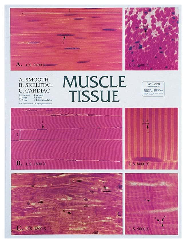 Muscle Tissue Chart 8000x Magnification 175 X 235 In 4445 X