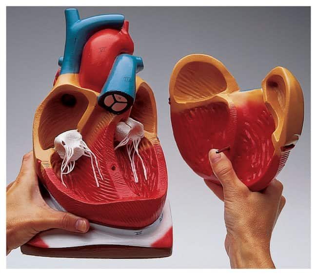 Giant Heart With Pericardium And Diaphragm Dissects Into 2 Parts 7 X