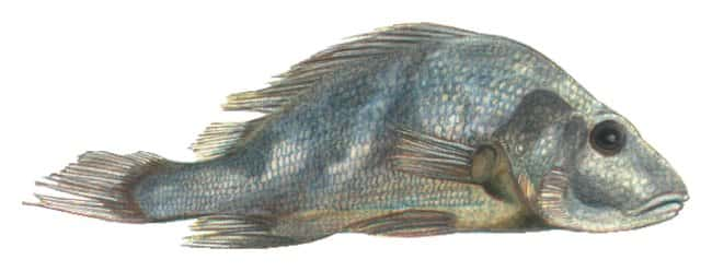 Grey Perch, Fisher-Free :Teaching Supplies:Biology Classroom