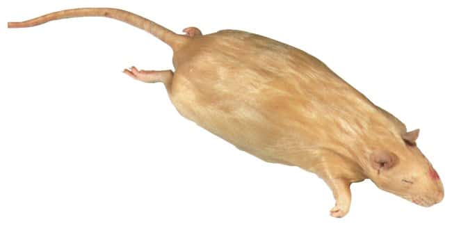 Rats, Bio-Fresh :Teaching Supplies:Biology Classroom