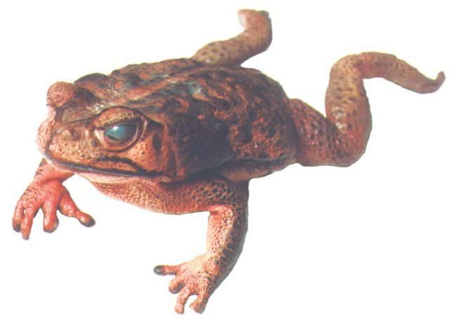 Toads  Bufo Marinus 4-6in. Plain:Teaching Supplies