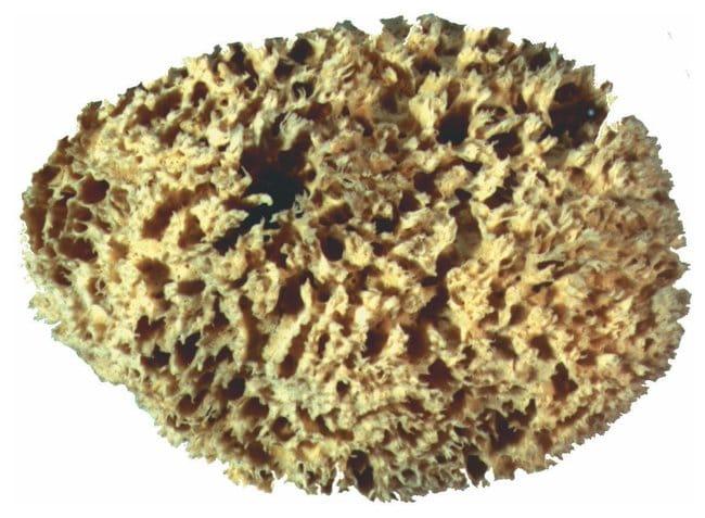 Porifera Sponges :Teaching Supplies:Biology Classroom