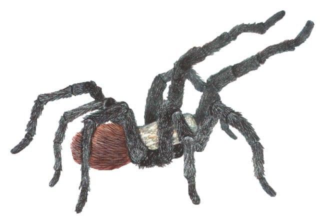 Tarantulas :Teaching Supplies:Biology Classroom