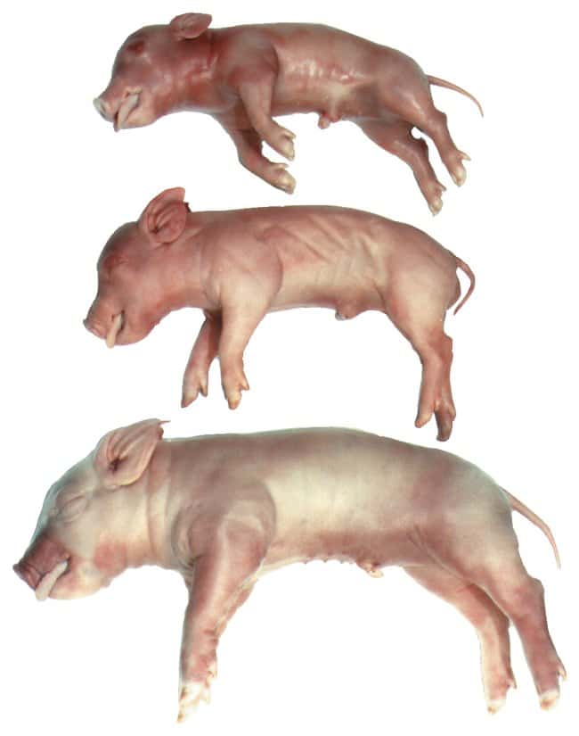 Fisher Science Education™ Fetal Pigs <img src=