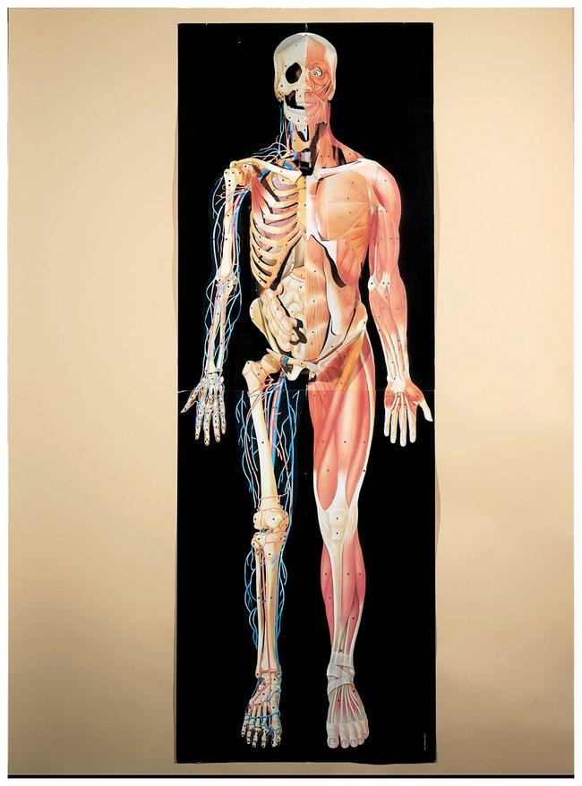 Dimensional Man Half-skeletal, half-muscular; 6 ft. H:Education Supplies
