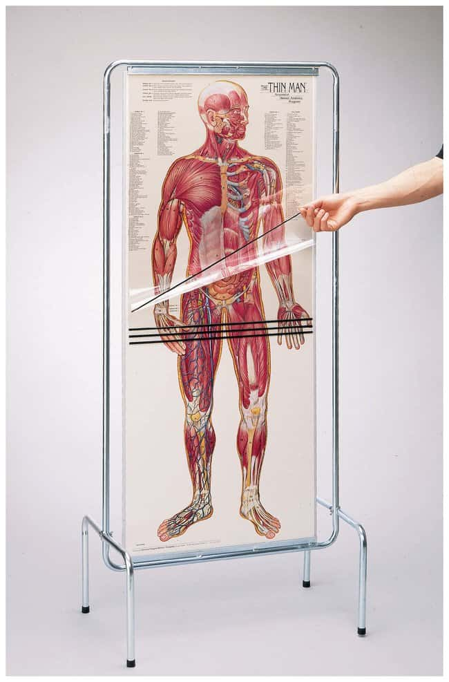 Thin-Man Model Anatomical Presentation of Life-Size Overlays Thin Man
