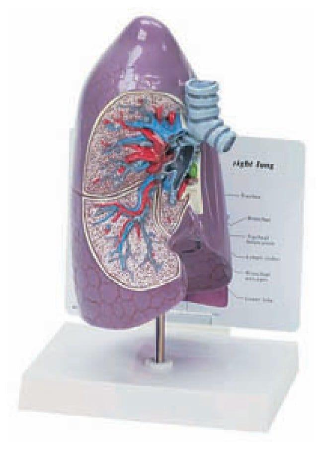 Human Anatomy Models