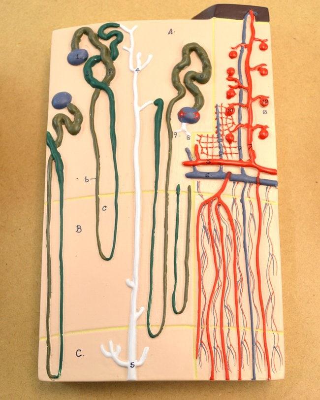 Eisco Kidney Section Model  56 x 30 x 7cm:Teaching Supplies