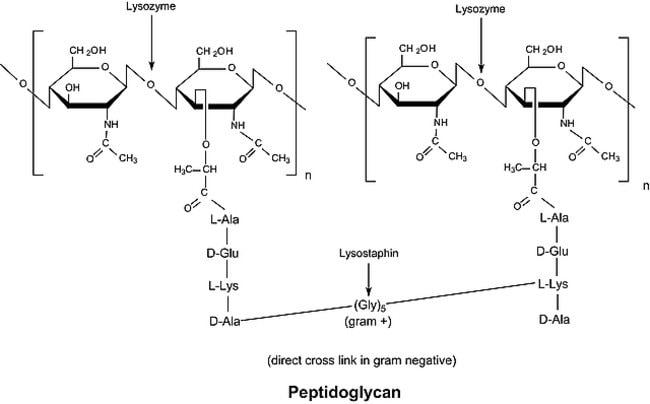 Sigma Aldrich Fine Chemicals Biosciences Lysozyme from chicken egg white