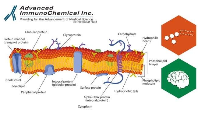 Advanced ImmunoChemical, Inc.Disialoganglioside GD2, Bovine, Lyophilized