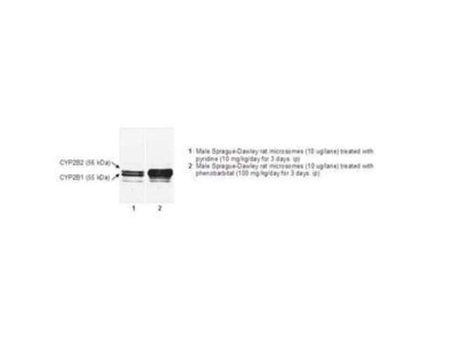 Detroit R & D MONOCLONAL ANTI-P450 2B1/2B2  MONOCLONAL ANTI-P450 2B1/2B2