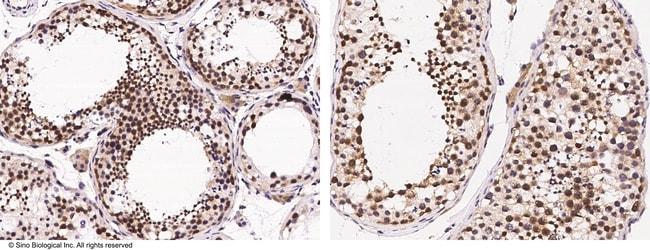Sino Biological DZIP1 Antibody, Rabbit PAb, Antigen Affinity Purified