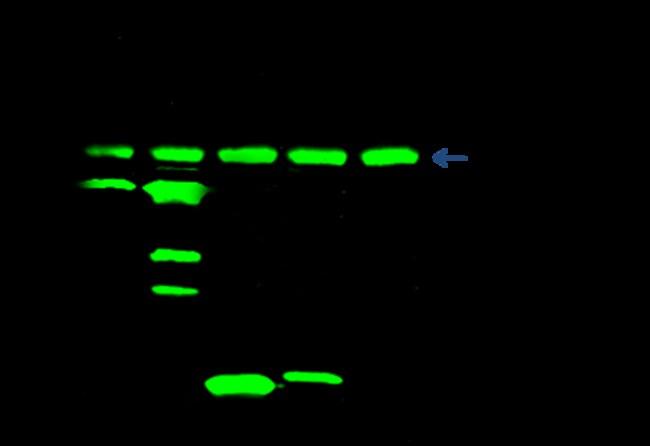 Sino Biological Anti-V5 Tag Antibody, Rabbit PAb, Antigen Affinity Purified