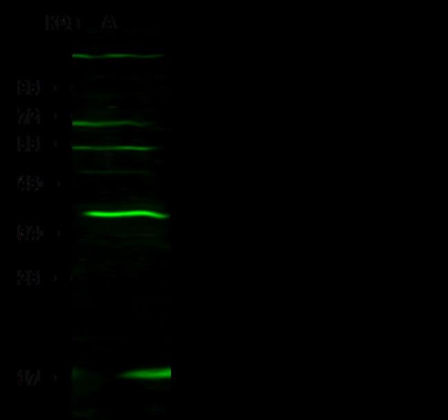 Sino Biological IL-27 Antibody, Rabbit PAb, Antigen Affinity Purified