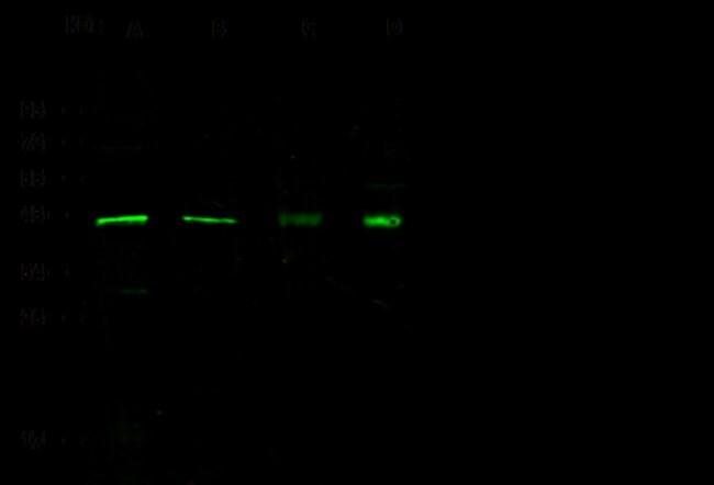 Sino Biological p38 alpha/MAPK14 Antibody, Rabbit PAb, Antigen Affinity