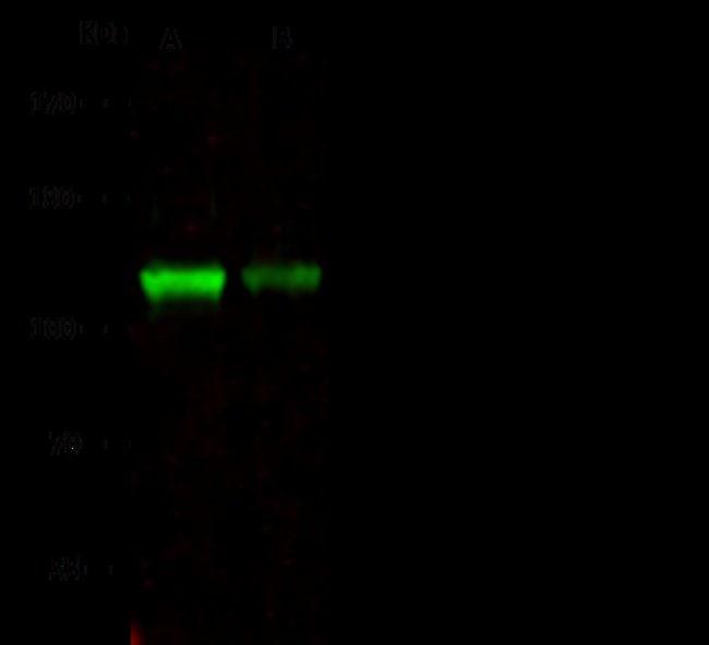 Sino Biological NCAPH Antibody, Rabbit PAb, Antigen Affinity Purified