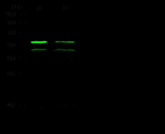Sino Biological MAPK3 Antibody, Rabbit PAb, Antigen Affinity Purified