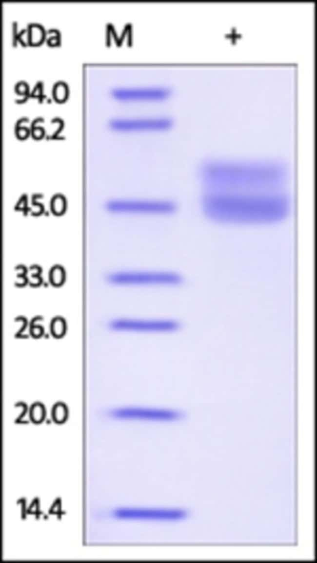 ACROBiosystemsRecombinant Protein;Human CD3 epsilon Protein, His Tag HEK293;100UG;CDE,FLJ18683,T3E,TCRE,CD3E,CD3-epsilon,CD3